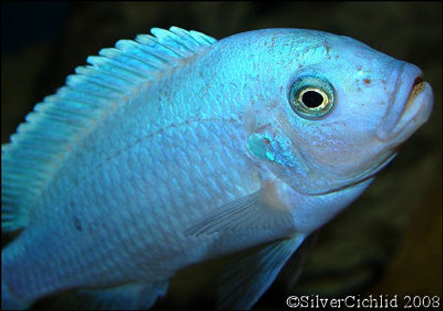 freshwater fish - maylandia callainos - blue cobalt cichlid stocking in 180 gallons tank - Male Maylandia callainos