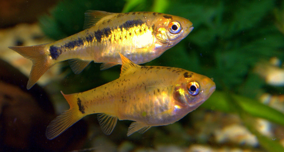Gold barb puntius sachsii photos for Gold barb fish