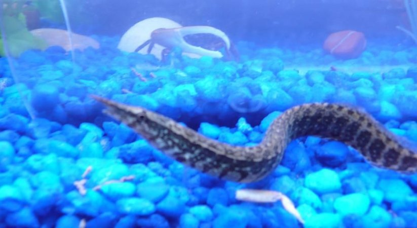 freshwater fish - mastacembelus ellipsifer - siamese spiny eel stocking in 75 gallons tank - My spiny eel...