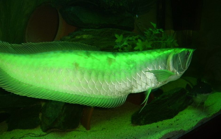 Silver arowana osteoglossum bicirrhosum photos for Arowana tank decoration