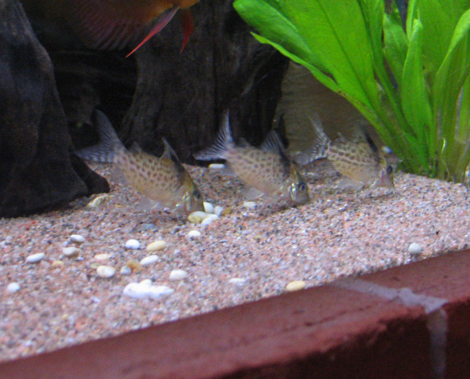 freshwater fish - corydoras paleatus - peppered cory cat stocking in 127 gallons tank - Huey, Dewey and Louie