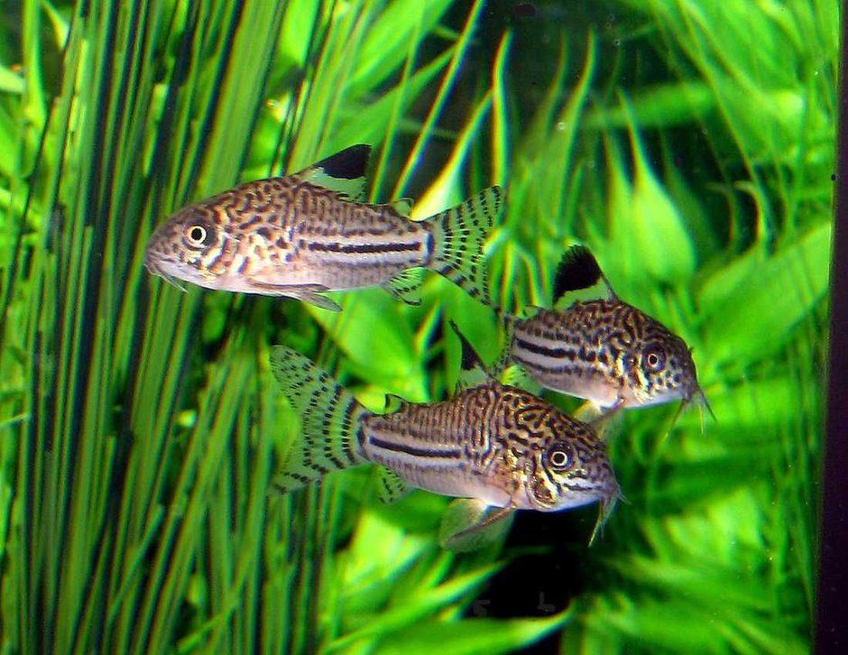 The Most Popular Catfish For Freshwater Tanks Ratemyfishtank Com
