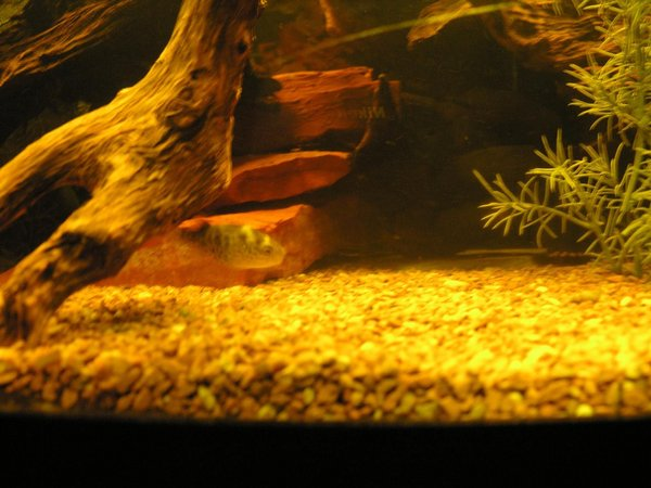 freshwater fish - tetraodon travancoricus - indian dwarf puffer stocking in 120 gallons tank - puffer
