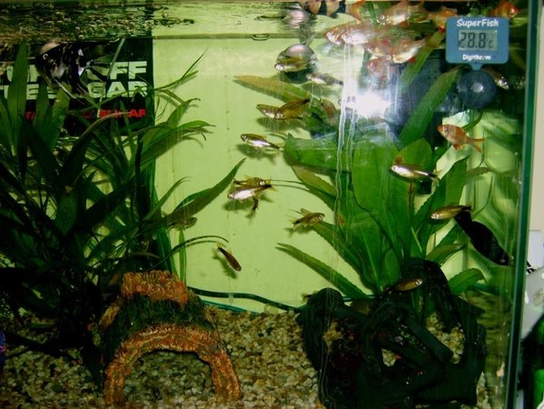 freshwater fish - hasemania nana - silver tip tetra stocking in 57 gallons tank - another new set up fish picture (sorry about the flash in the middle guys)