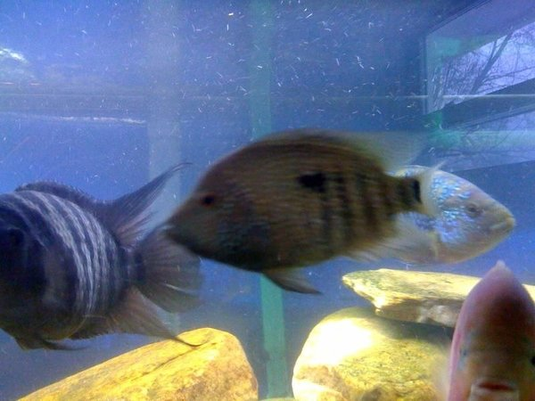 freshwater fish - herichthys carpinte - green texas cichlid stocking in 75 gallons tank - pic