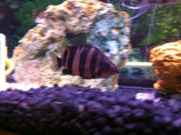 freshwater fish - datnioides microlepis - gold tiger datnoid stocking in 54 gallons tank - Gold Tiger Datnoid