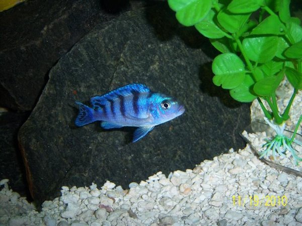 freshwater fish - metriaclima lombardoi - kenyi cichlid stocking in 55 gallons tank - Female Kenyi