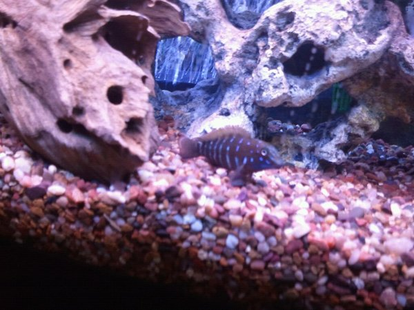 freshwater fish - tanganicodus irsacae - jeweled goby cichlid stocking in 100 gallons tank - Spotfin goby African cichlid