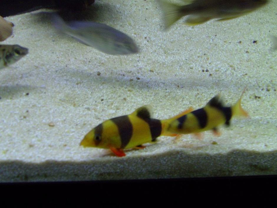 freshwater fish - botia macracantha - clown loach stocking in 90 gallons tank - My baby Clown Loaches.