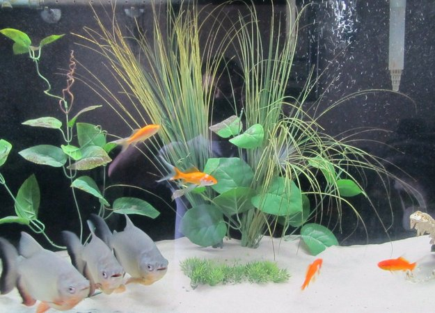 freshwater fish - carrassius auratus - goldfish stocking in 55 gallons tank