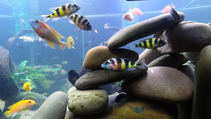 freshwater fish - astatotilapia latifasciata - zebra obliquidens stocking in 209 gallons tank - .