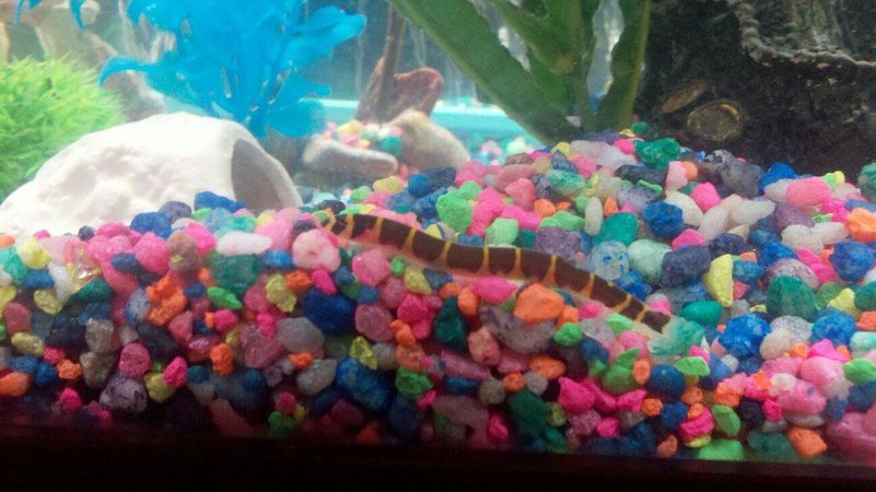 freshwater fish - pangio sp. - black kuhlii loach stocking in 75 gallons tank - One of my khuli loaches