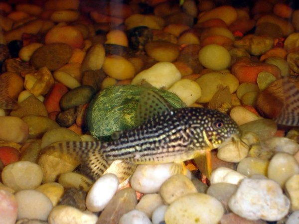 freshwater fish - corydoras schwartzi - swartz's cory cat stocking in 72 gallons tank - Stripped/ Spotted Cory