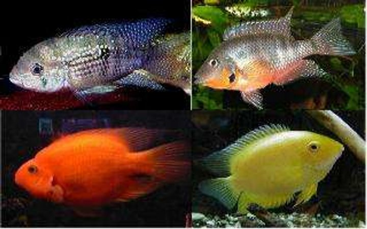 freshwater fish - aequidens portalegrensis - port acara stocking in 55 gallons tank - Pictures of what my cichlids will look like when full grown