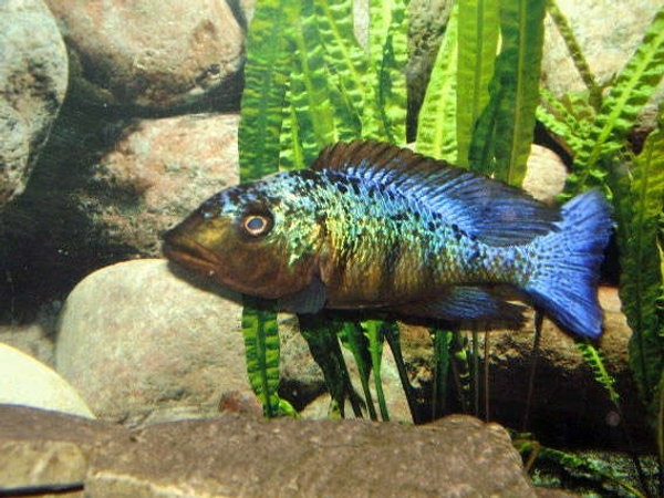 freshwater fish - fossorochromis rostratus - fosso cichlid stocking in 100 gallons tank - Fossorochromis rostratus