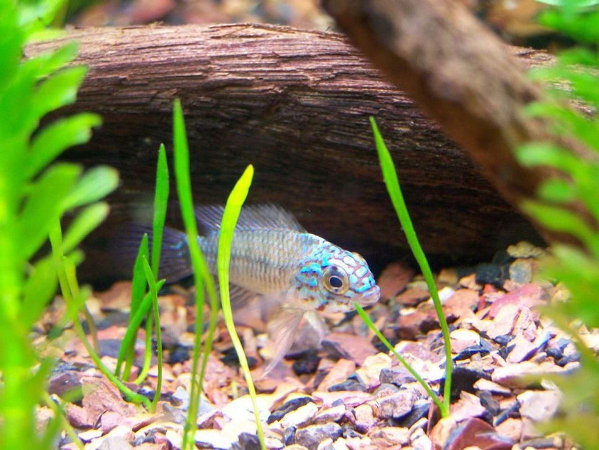 Adding Rocks And Wood To Your Freshwater Aquarium