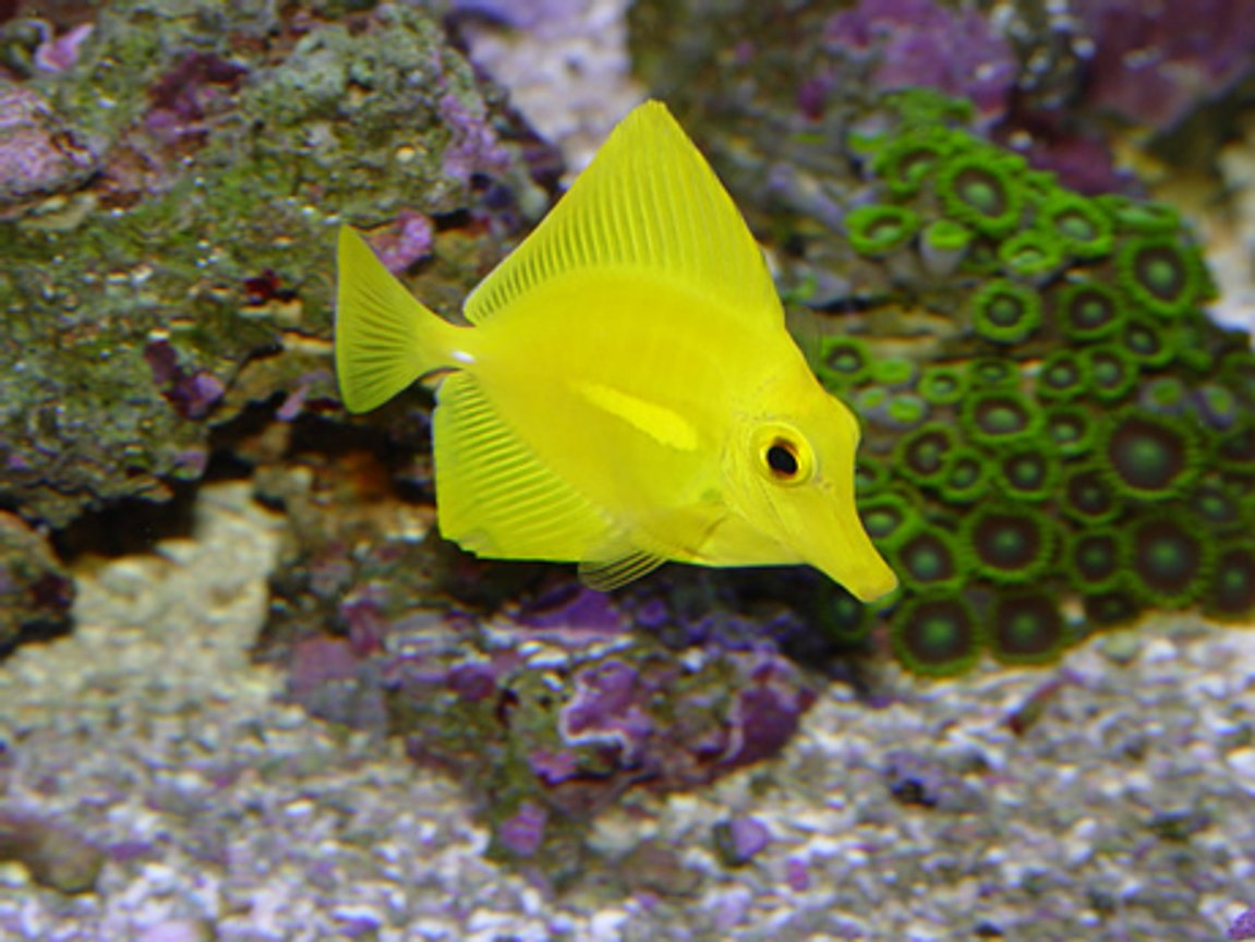 saltwater fish - zebrasoma flavescens - yellow tang - hawaii
