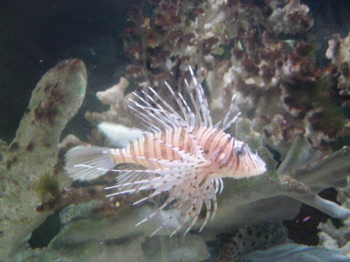 saltwater fish - pterois russelli - russell's lionfish stocking in 90 gallons tank - nice guy