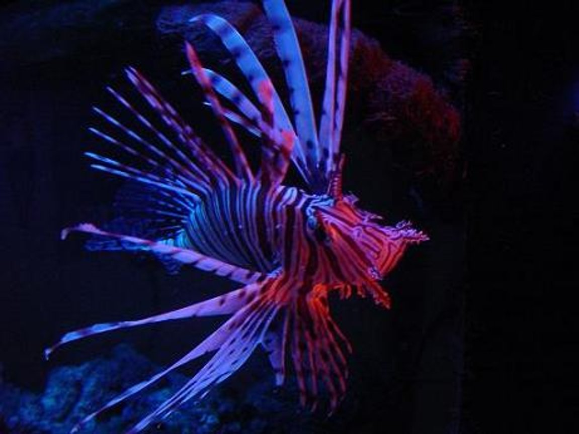 saltwater fish - pterois volitans - volitan lionfish stocking in 130 gallons tank - my lovely volitan