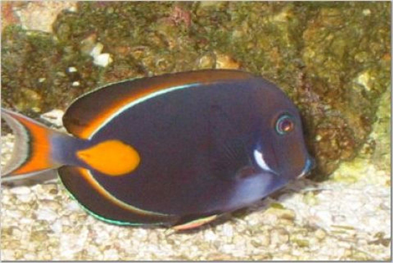saltwater fish - acanthurus achilles - achilles tang stocking in 54 gallons tank - Achillies tang