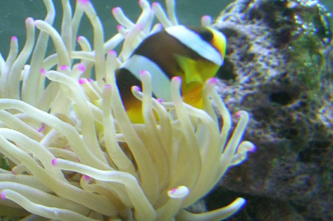 saltwater fish - amphiprion clarkii - clarkii clownfish stocking in 90 gallons tank - Compliments to Fish Of Eden for guiding me to a great start to my reef tank!