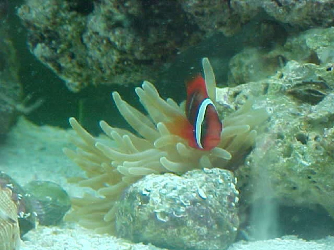 saltwater fish - amphiprion frenatus - tomato clownfish stocking in 55 gallons tank - Tomato Clown. We call him Mater