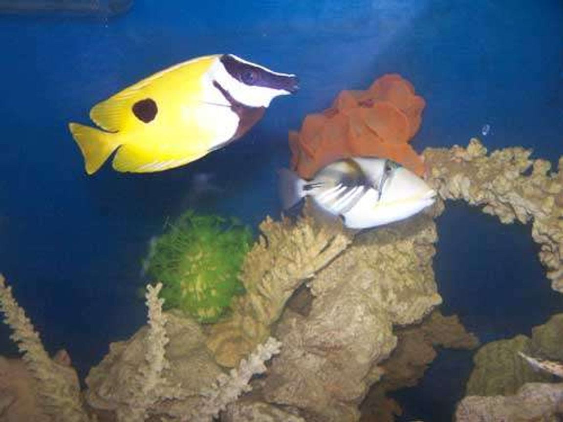 saltwater fish - siganus unimaculatus - one spot foxface stocking in 110 gallons tank - Trigger and Foxface