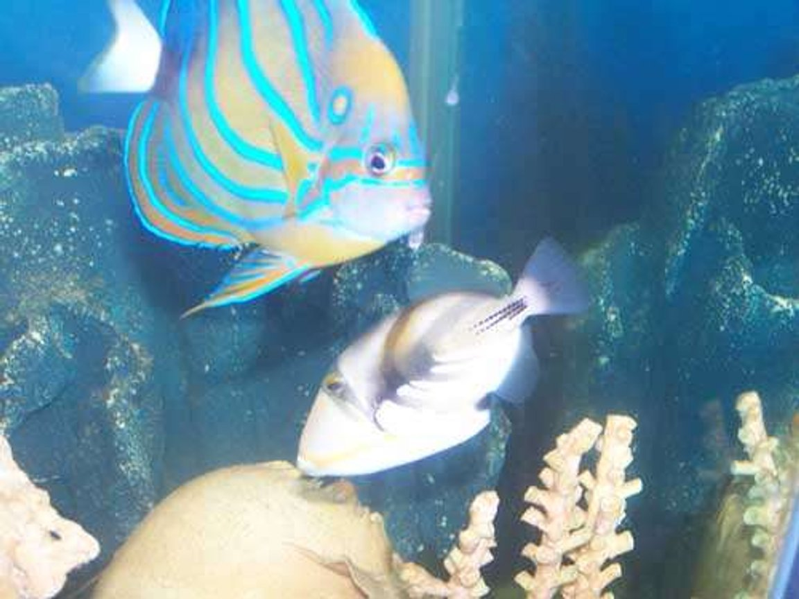 saltwater fish - rhinecanthus aculeatus - humu picasso triggerfish stocking in 110 gallons tank - My angel and trigger.