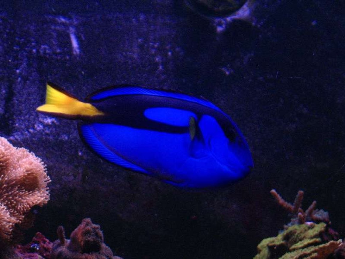 saltwater fish - paracanthurus hepatus - blue tang stocking in 120 gallons tank - Blue Tang