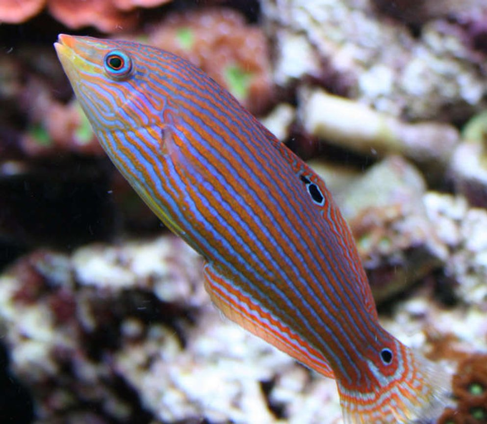 saltwater fish - pseudocheilinus hexataenia - six line wrasse stocking in 210 gallons tank - Mel Wrasse