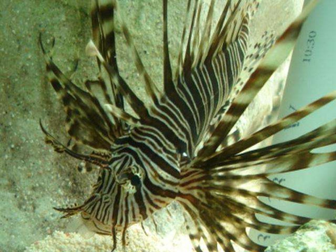 saltwater fish - pterois volitans - volitan lionfish stocking in 100 gallons tank - This is Black Volitan Lion FIsh After eating one of my damsels you can see the fin in its mouth . Notice they hunt any directions and sit sidways ,upside down , they remind me of orbiting space stations .