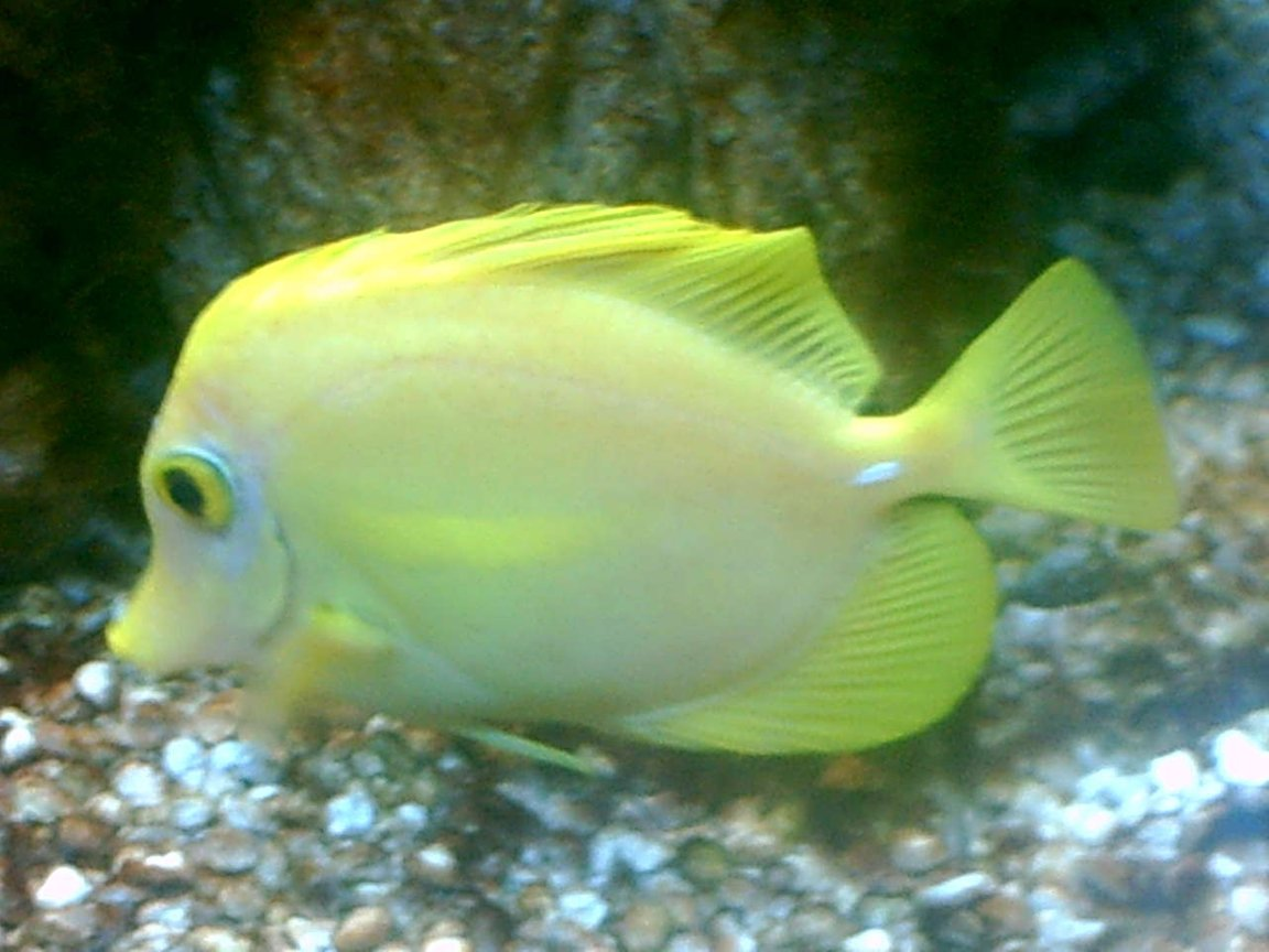 saltwater fish - zebrasoma flavescens - yellow tang - hawaii stocking in 75 gallons tank - yellow tang