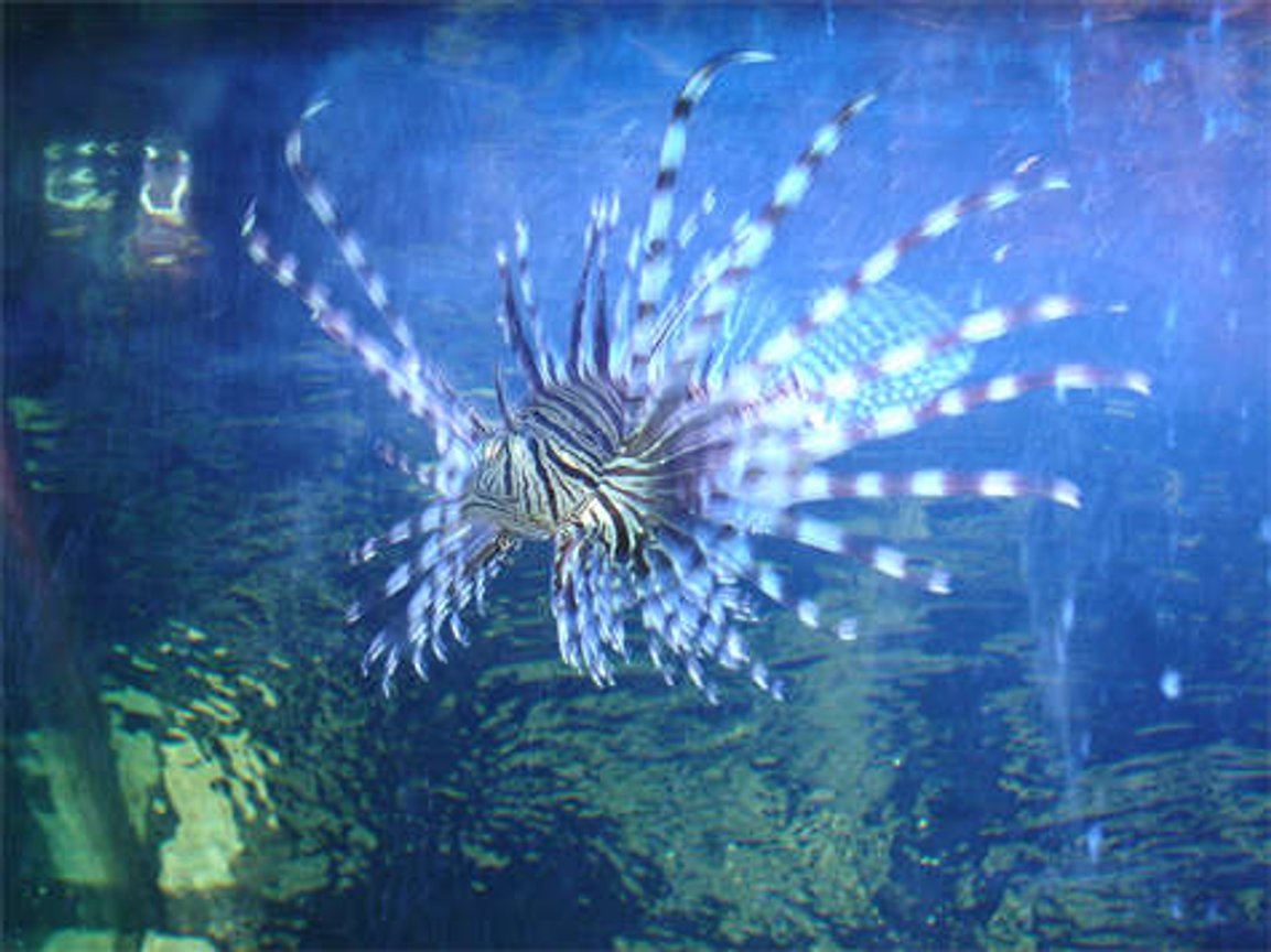 saltwater fish - pterois volitans - volitan lionfish stocking in 125 gallons tank - This is my lionfish