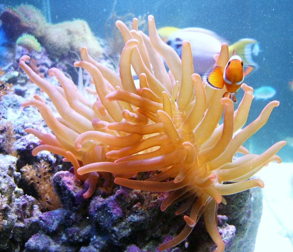 saltwater fish - amphiprion ocellaris - ocellaris clownfish stocking in 140 gallons tank - Best friends