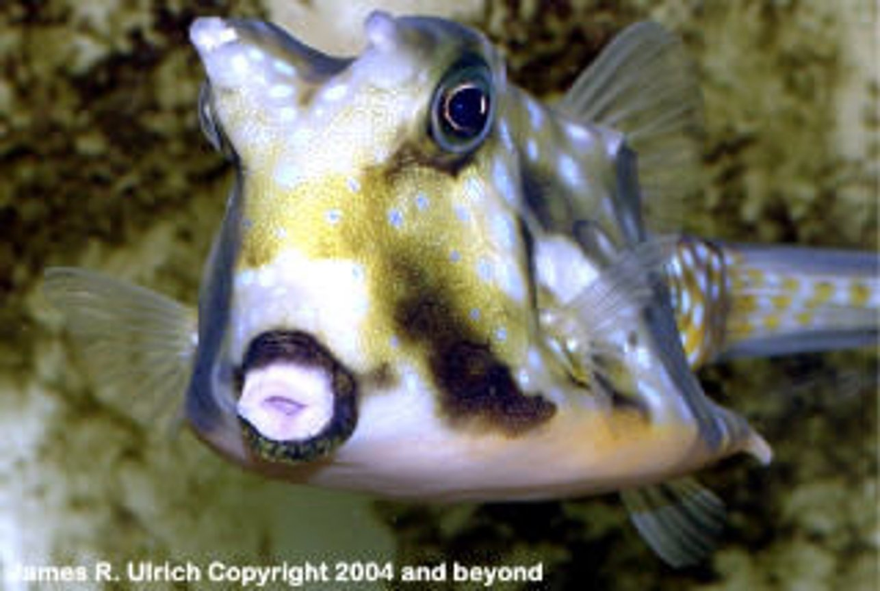 saltwater fish - lactoria cornuta - cowfish longhorn stocking in 150 gallons tank - This is a type of fish that I want to put in my tank