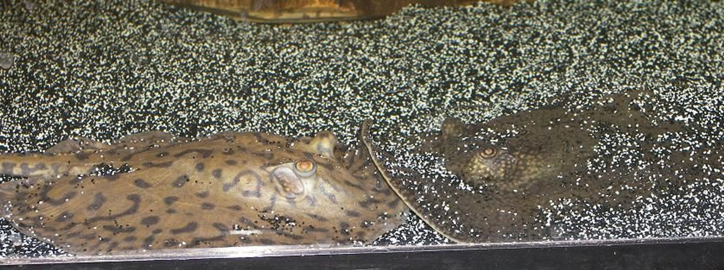 saltwater fish - urobatis halleri - round stingray stocking in 120 gallons tank - Stingrays Kissing. THIS IS FRESHWATER NOT SALTWATER, CHANGE IT BACK A-HOLE's
