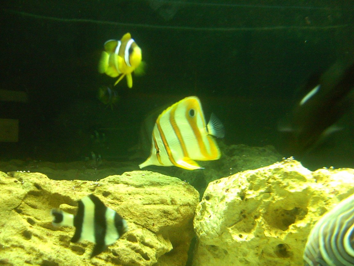 saltwater fish - chelmon rostratus - copperband butterflyfish stocking in 125 gallons tank - Copper banded butterfly and clarki clown fish
