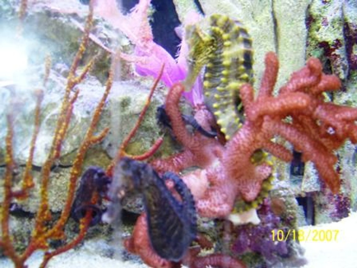 saltwater fish - hippocampus erectus - black seahorse stocking in 37 gallons tank - Some of my Seahorses!