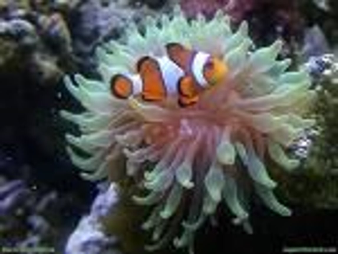 saltwater fish - amphiprion ocellaris - ocellaris clownfish stocking in 30 gallons tank - clownfish