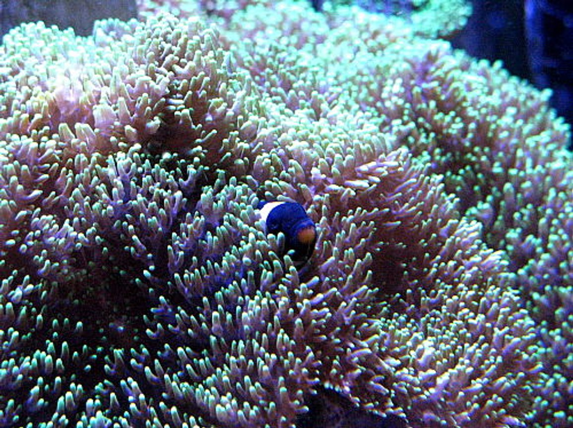 saltwater fish - amphiprion ocellaris var. - black and white ocellaris clownfish stocking in 120 gallons tank - blackie