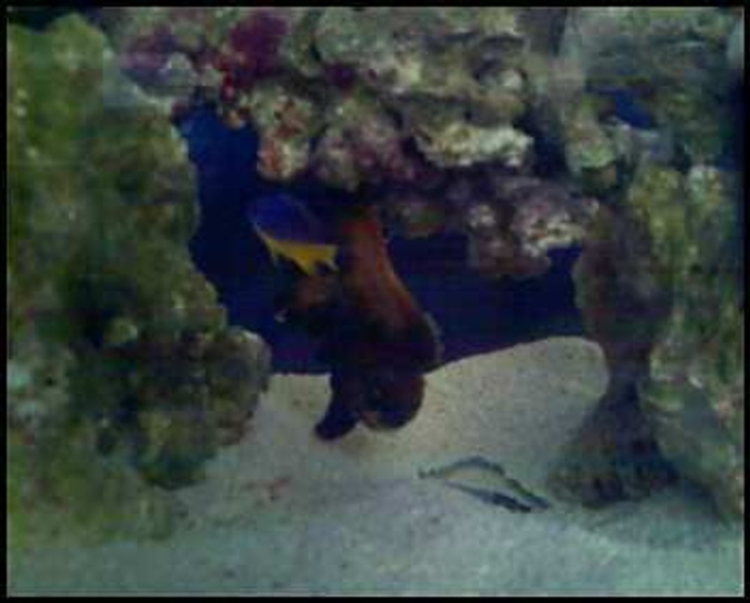 saltwater fish - chrysyptera taupou - fiji blue devil damselfish stocking in 10 gallons tank - bob and tommy