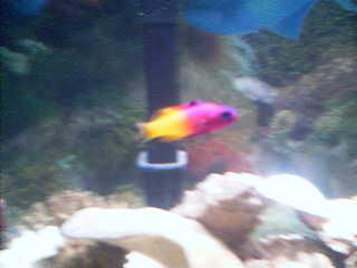 saltwater fish - gramma loreto - royal gramma basslet stocking in 75 gallons tank - Royal Gramma