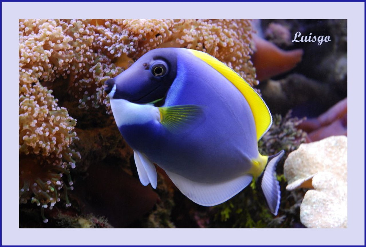 saltwater fish - acanthurus leucosternon - powder blue tang stocking in 125 gallons tank - Powder Blue Tang in my 125 gallons reef