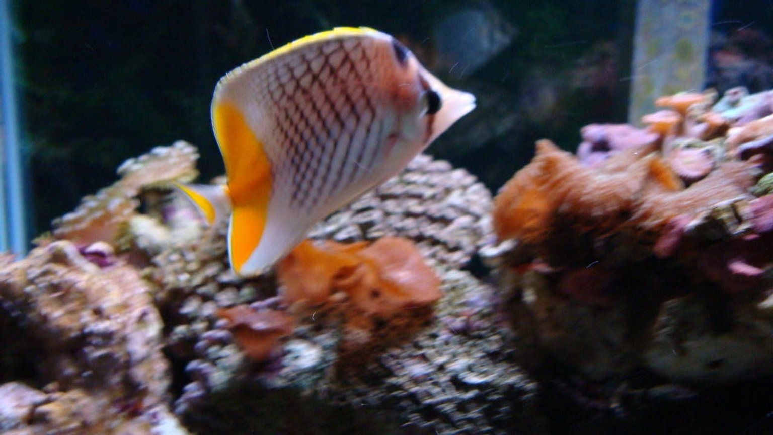 saltwater fish - chaetodon xanthurus - pearlscale butterfly stocking in 150 gallons tank - Butterfly Fish