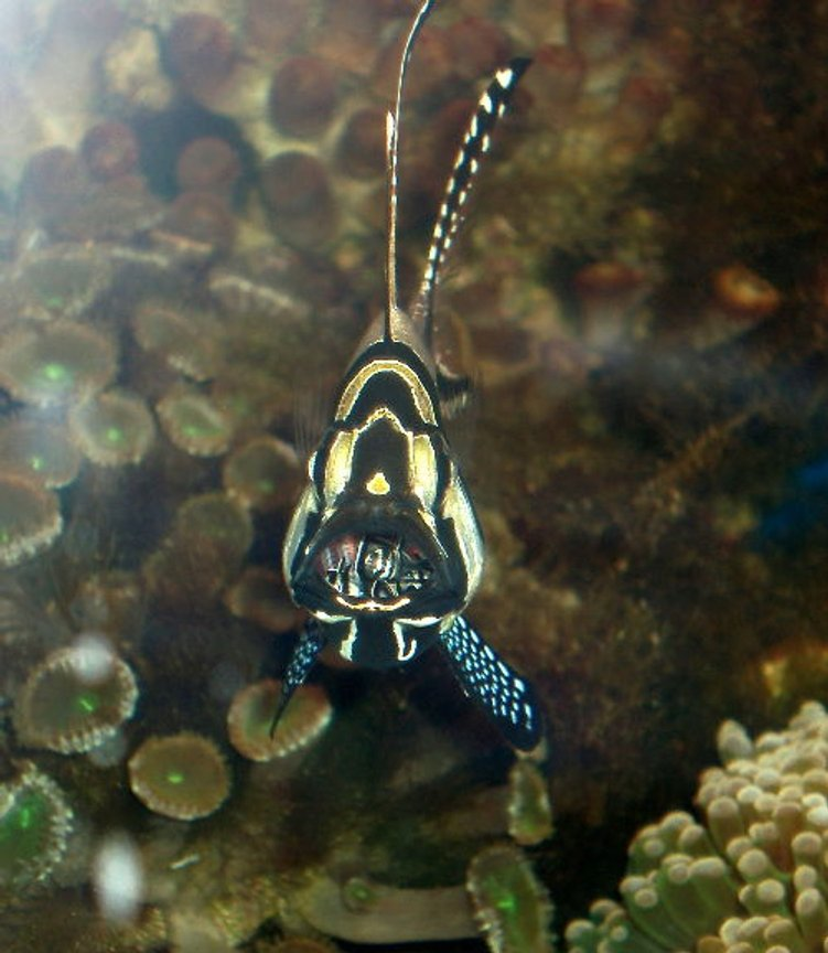 saltwater fish - pterapogon kauderni - kaudern's cardinal stocking in 90 gallons tank - Cardinalfish with newly hatched babies in the mouth.