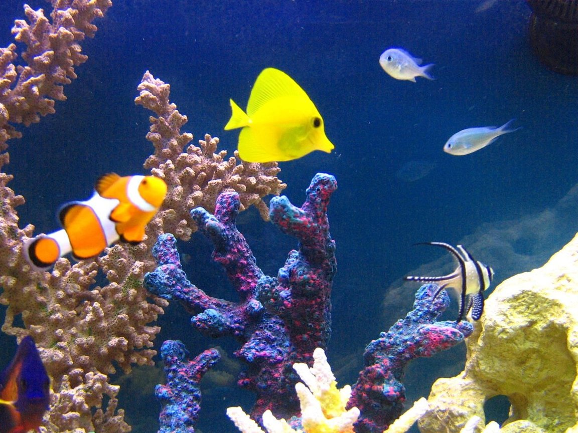 saltwater fish - zebrasoma flavescens - yellow tang - hawaii stocking in 105 gallons tank - Amphiprion Ocellaris-Zebrasoma Flavescens-Chromis Viridis-Apogon Kauderni