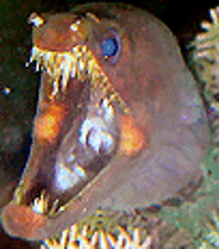 saltwater fish - enchelynassa canina - viper moray eel stocking in 110 gallons tank - viper