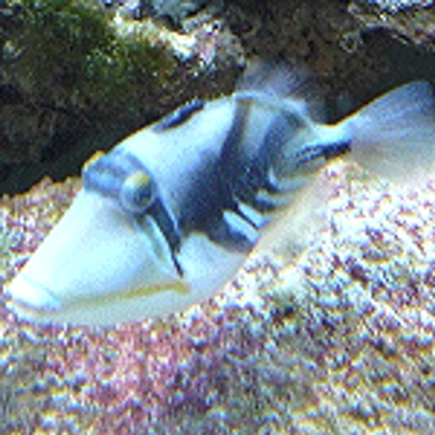 saltwater fish - rhinecanthus aculeatus - humu picasso triggerfish stocking in 110 gallons tank - huma huma