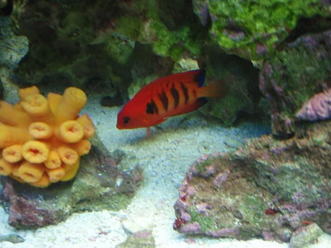 saltwater fish - centropyge loriculus - flame angelfish stocking in 37 gallons tank - Flame