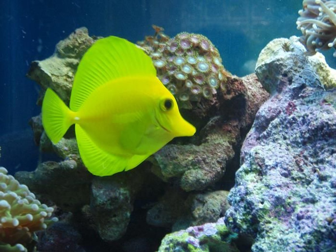 saltwater fish - zebrasoma flavescens - yellow tang - hawaii stocking in 37 gallons tank - yellow tang